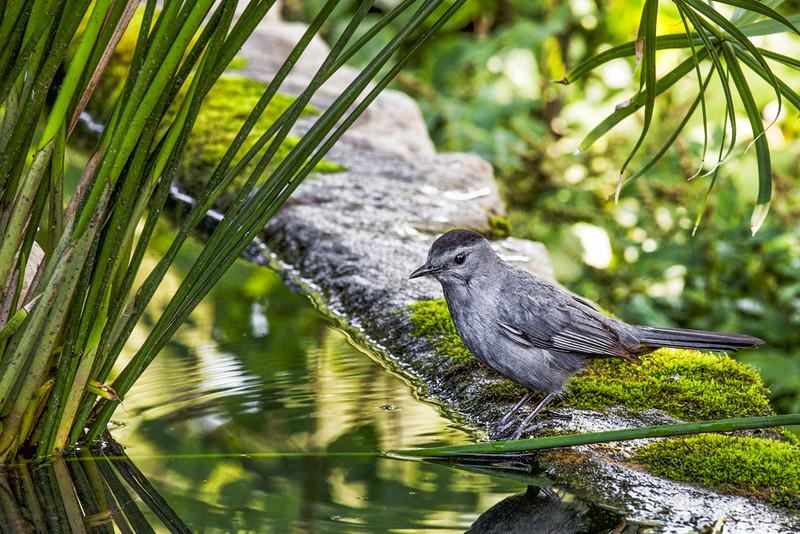 Catbird Bath