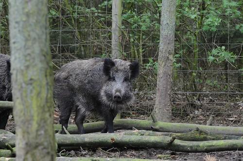 Wildschwein im Skandinavisk Dyrepark in Kolind