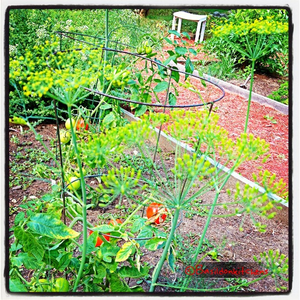 Aug 17 - hope {when planting the garden each spring, you HOPE for a good harvest. We have tomatoes already } #photoaday #hope #garden #tomatoes #oregano #dillweed #beans #parsley #cucumbers #zucchini