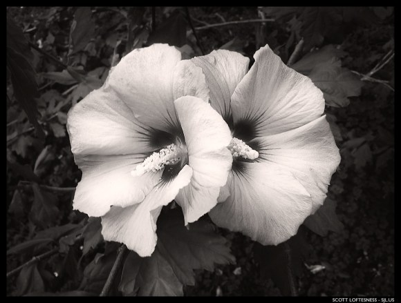 Rose of Sharon - Menlo Park - 2013