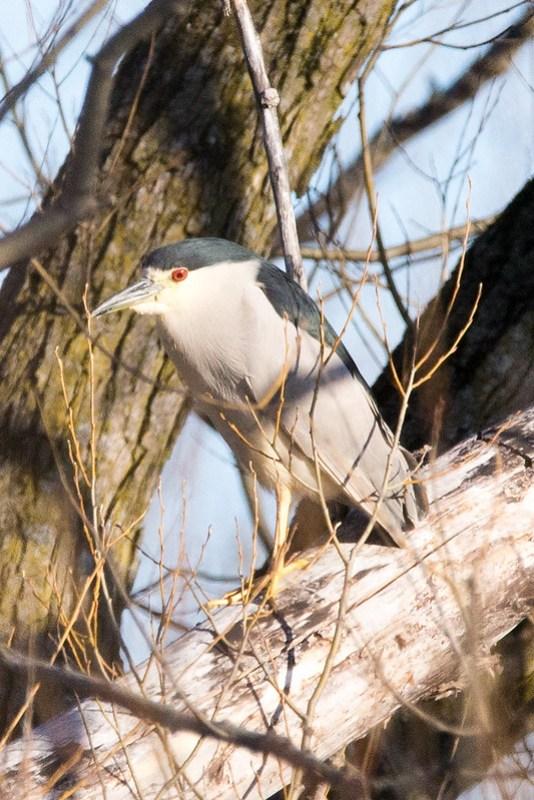 _DSC6885 Black-crowned Night Heron