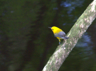 Prothanotary Warbler