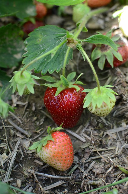 In the Strawberry Patch