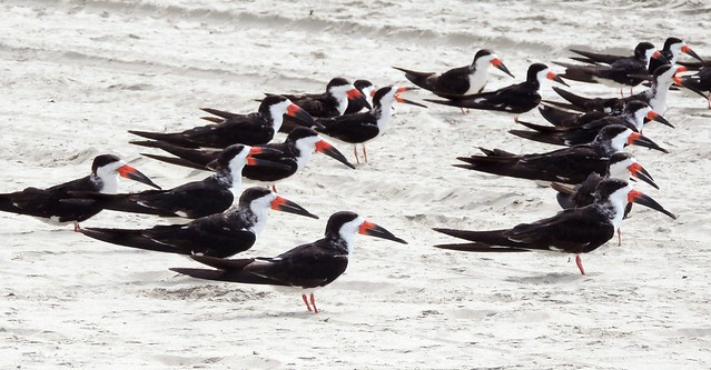 Black Skimmers - Used with permission.  Copyright 2013 Kathy Deyell All rights reserved