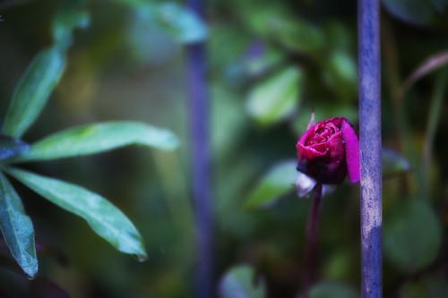 quanto c e di struggente in un ultima rosa