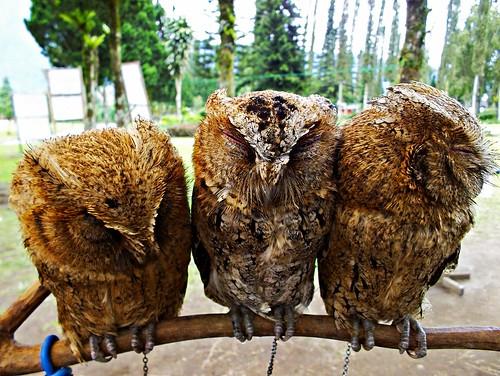 Owls, Bali 2012
