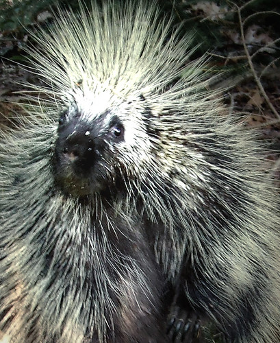 porcupine-close-up