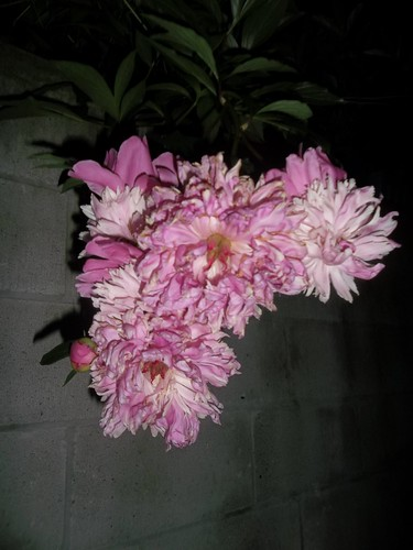 Peonies by night (2)