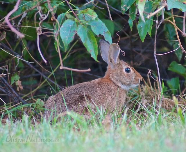 rabbit 0000 North 40 Natural Area, Floyd Bennett Field, New York City, NY, USA