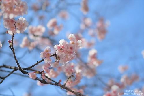 桜 20170311-DSCT3353 (2)