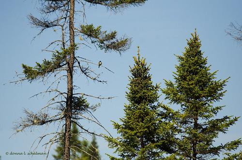 Daks: Typical Flycatcher View in the Adirondacks