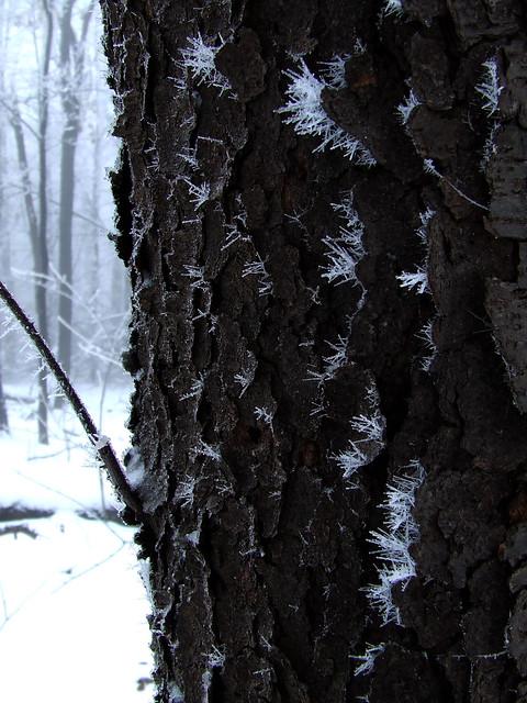 ice-fogged black cherry