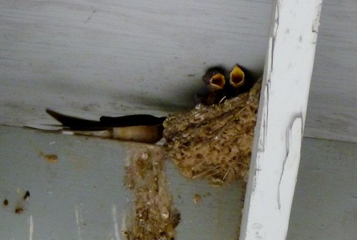 Barn swallow with two babies