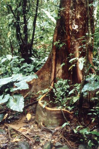 Urwaldriese Südamerika #holzvonhier