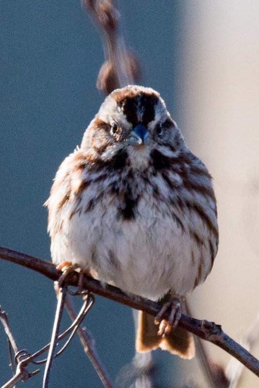 _DSC6908 Song Sparrow