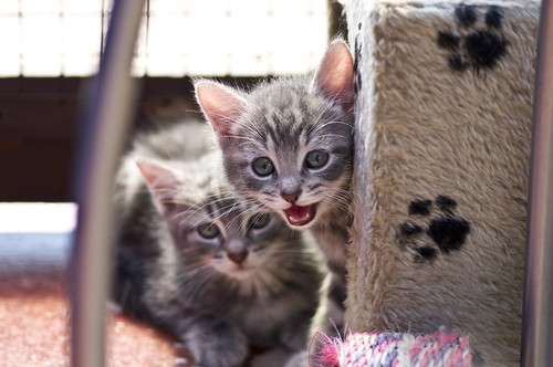 Kitten Call