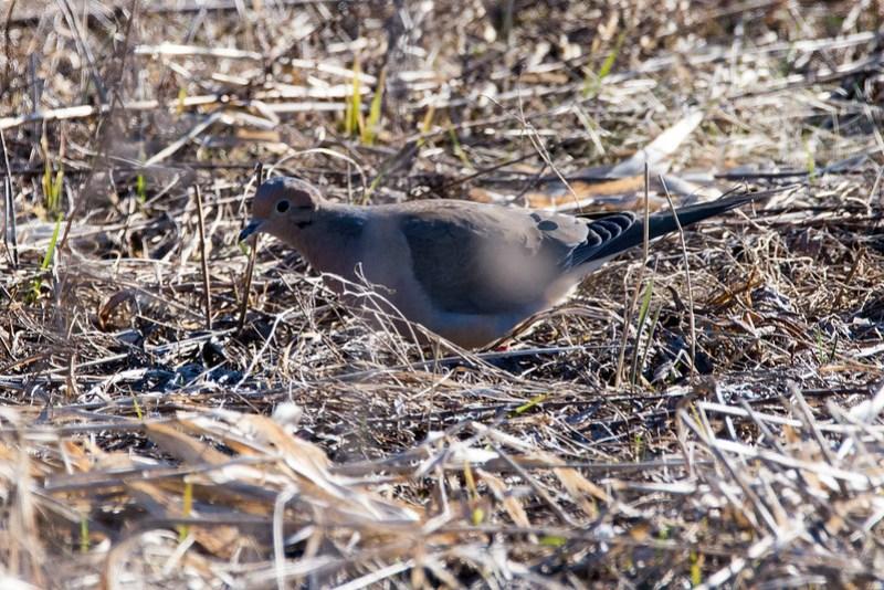 _DSC6939 Mourning Dove