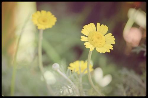 fleurjaune01