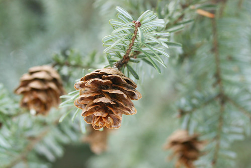 tiny pinecone close up