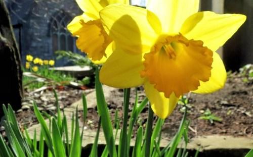 Glorious church daffodils