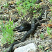 1305 Arizona Black Rattlesnake
