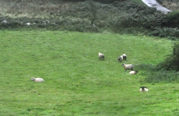 Sheep in the Wicklow Mountains
