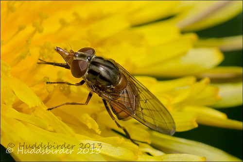 Hoverfly [Rhingia campestris]