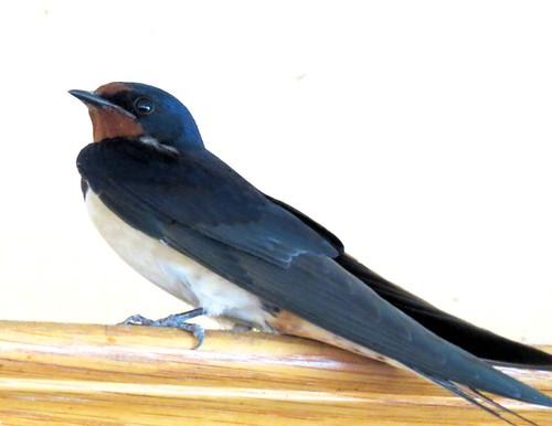 Housebound swallow