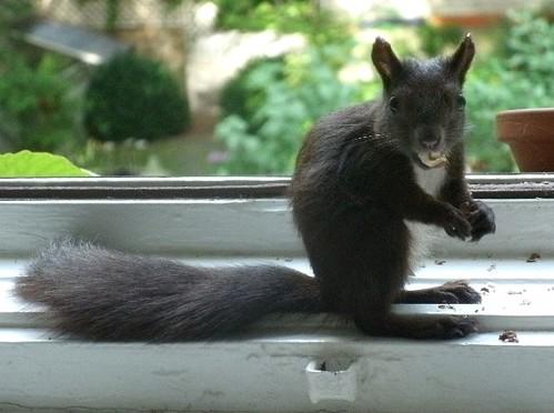 Schwarzes Eichhörnchen 2