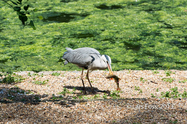 Heron in St. James's Park