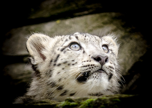 Snow Leopard Cub by Stavros043