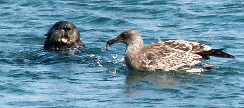 a floating sea otter pokes it head up above the water, mouth open. Nearby is a mottled brown and cream gull, floating on the water