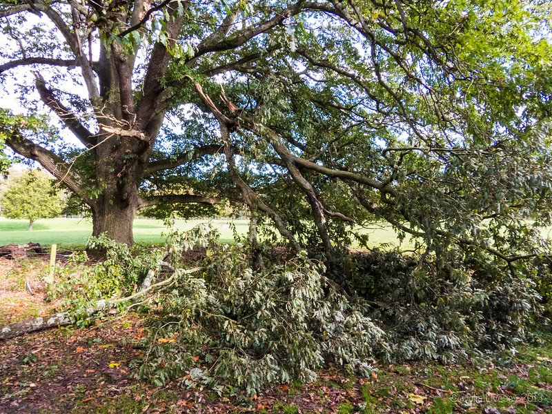 A large branch has come off the oak