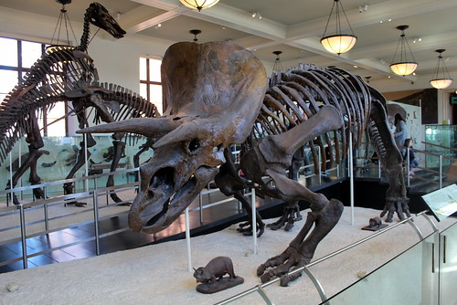 NYC - AMNH: Hall of Ornithischian Dinosaurs - Triceratops
