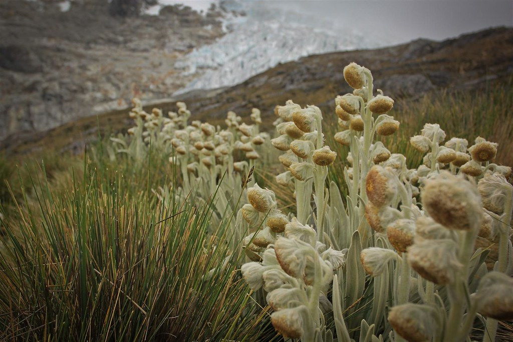 Flores de senecio on the way towards Yanapaccha basecamp. Huascaran National Park. Cordillera Blanca. Peru.