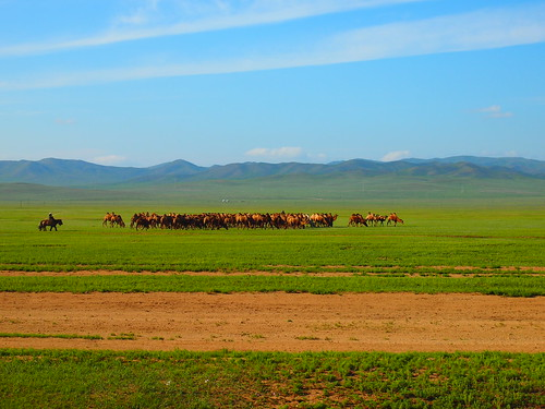 Camels - Mongolia