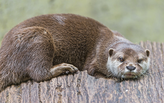 an otter with soft brown eyes lying down draped on a stump.