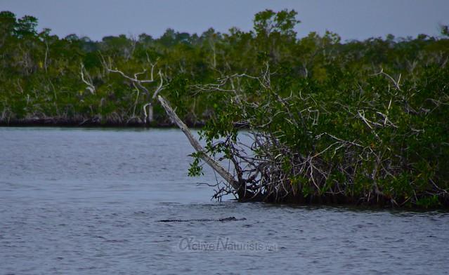alligator 0000 Everglades, Florida, USA
