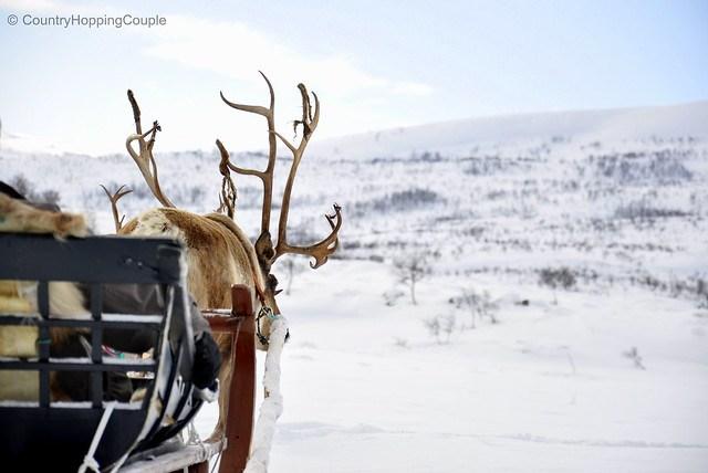 Reindeer Sledging Experience in Arctic Norway