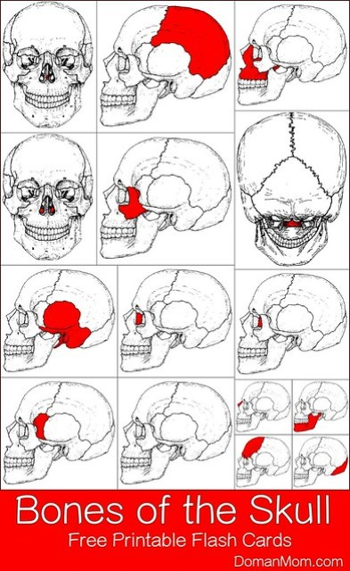 Bones of the Skull: Free Printable Flash Cards