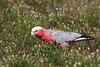 Female Galah  IMG_9697a