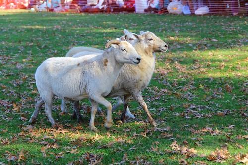 katahdin sheep