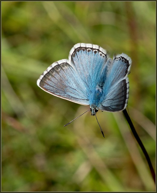 Chalkhill Blue 6