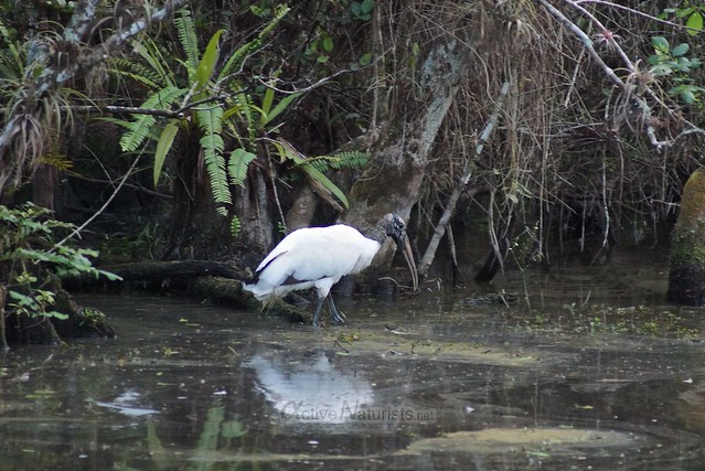 wood stork 0000 Big Cypress Preserve, Florida, USA