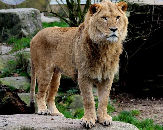 Löwe in Hellabrunn