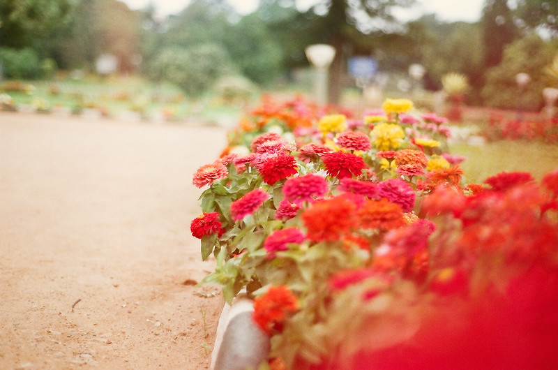 Day 250.365 – Red flowers in Film