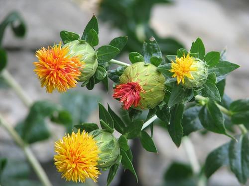 Carthame des teinturiers / Safflower (Asteraceae: Carthamus tinctorius)