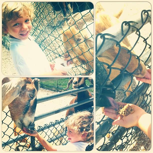 Feeding some goaty-goats
