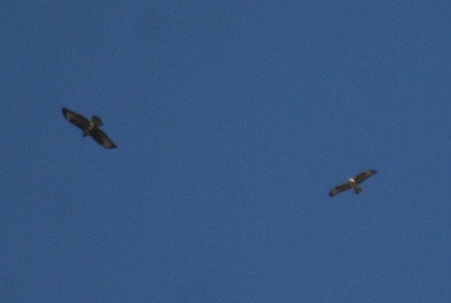 Long-legged Buzzard Buteo rufinus cirtensis with Buzzard Buteo buteo Cabranosa, Sagres, Portugal October 2013