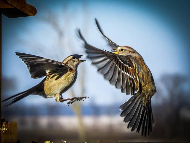 Sparrow Drama
